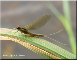 Brun flatdøgnflue (Heptagenia fuscogrisea) TRYKK PÅ BILDET FOR INFO.