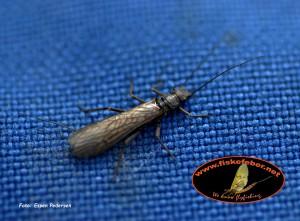 Steinflue (Plecoptera) TRYKK PÅ BILDET FOR INFO.