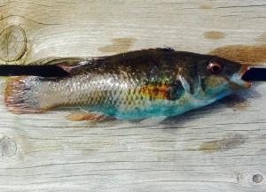 fisk11